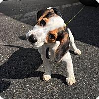 Adopt A Pet :: Bandit - Lakeville, MN