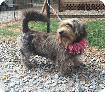 Wheaten Terrier/Shih Tzu Mix Dog for adoption in Media, Pennsylvania - JULIA