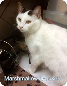 American Shorthair Cat for adoption in Tiffin, Ohio - Marshmallow
