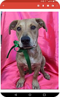 Corgi Mix Puppy for adoption in Corona, California - ROSIE
