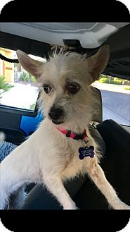 Terrier (Unknown Type, Small) Mix Dog for adoption in Las Vegas, Nevada - Lila