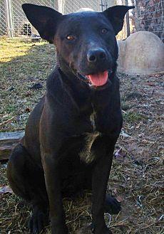 Labrador Retriever/Blue Heeler Mix Dog for adoption in Melbourne, Arkansas - Hayhay