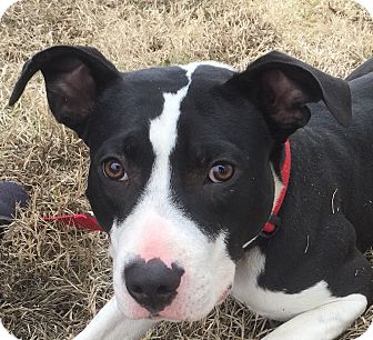Bull Terrier/American Bulldog Mix Puppy for adoption in Smithfield, North Carolina - Finn