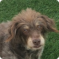 Poodle (Miniature)/Miniature Pinscher Mix Dog for adoption in Santa Ana, California - Brownie