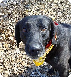 Labrador Retriever Mix Dog for adoption in Princeton, Kentucky - BO