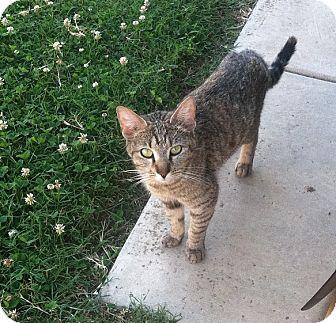 Domestic Shorthair Cat for adoption in Columbus, Ohio - Momma