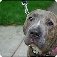 Adopt A Pet :: Barney - Chicago, IL