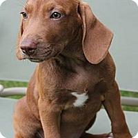 Adopt A Pet :: Sherri - South Jersey, NJ