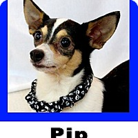 Adopt A Pet :: Pip - Wichita Falls, TX