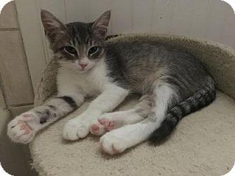 Domestic Shorthair Kitten for adoption in Bulverde, Texas - Tortilla