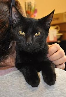 Domestic Shorthair Kitten for adoption in Pompano Beach, Florida - Cole