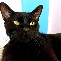 Domestic Shorthair Cat for adoption in Santa Ana, California - Montgomery