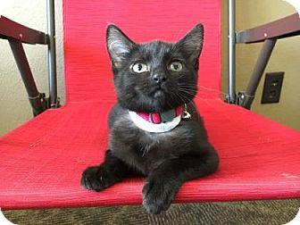 Domestic Mediumhair Kitten for adoption in Wichita, Kansas - Shiloh