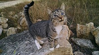 Domestic Shorthair Cat for adoption in Fischer, Texas - Marcos