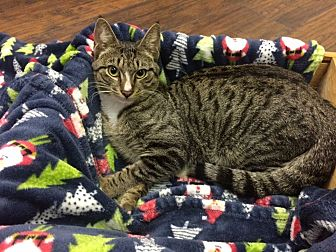 Domestic Shorthair Cat for adoption in Miami Shores, Florida - Kringle