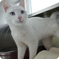 Domestic Mediumhair Cat for adoption in Methuen, Massachusetts - GHOST