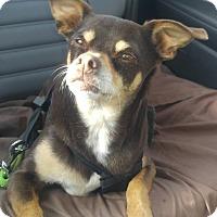 Adopt A Pet :: Terric Tazzy - plano, TX