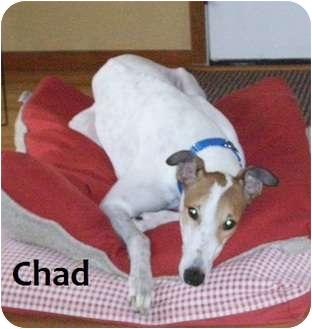 Greyhound Dog for adoption in Fremont, Ohio - Chad