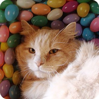 Domestic Longhair Cat for adoption in Albany, New York - Liam