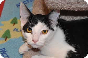 Domestic Shorthair Kitten for adoption in Foothill Ranch, California - Addie