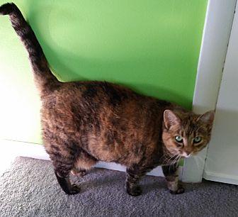 Domestic Mediumhair Cat for adoption in Carlisle, Pennsylvania - Attie
