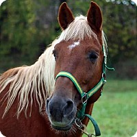 Tennessee Walking Horse for adoption in Front Royal, Virginia - Honesty
