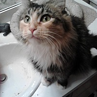 Domestic Mediumhair Cat for adoption in Sterling Hgts, Michigan - Riley( pretty girl)