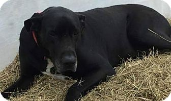 Great Dane Dog for adoption in Hagerstown, Maryland - Luke - URGENT