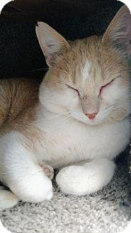 Domestic Shorthair Cat for adoption in Chaska, Minnesota - Glenn