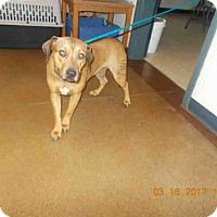 Adopt A Pet :: LATTE - Temple, TX