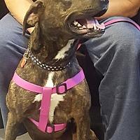 Adopt A Pet :: Tori - Brattleboro, VT