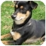 Photo 1 - Miniature Pinscher/Cairn Terrier Mix Puppy for adoption in Waukesha, Wisconsin - Mooney
