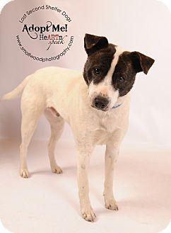 Australian Cattle Dog/Terrier (Unknown Type, Medium) Mix Dog for adoption in Bedminster, New Jersey - Hank