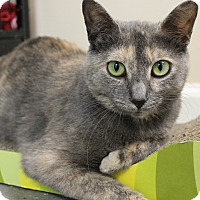 Domestic Shorthair Cat for adoption in levittown, New York - TAFFY