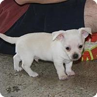 Adopt A Pet :: Kip - Puppy - Dallas, TX