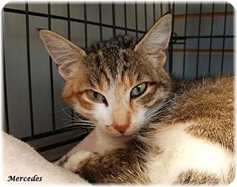 Domestic Shorthair Cat for adoption in Welland, Ontario - Mercedes