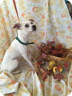 Terrier (Unknown Type, Small) Mix Dog for adoption in Rancho Cucamonga, California - Chip