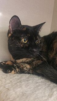 Domestic Shorthair Cat for adoption in Walnut Creek, California - Spice