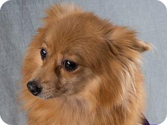 Pomeranian Dog for adoption in Colorado Springs, Colorado - Irma