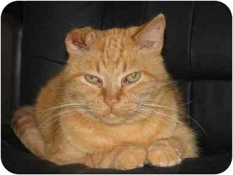 Domestic Shorthair Cat for adoption in Fairbury, Nebraska - Francisco