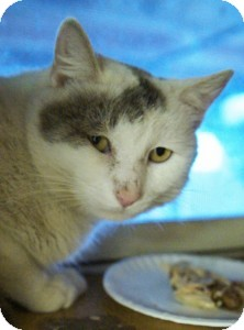 Domestic Shorthair Cat for adoption in Medford, Massachusetts - Earl