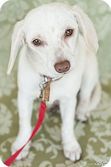 Dachshund/Chihuahua Mix Puppy for adoption in Studio City, California - Snow White