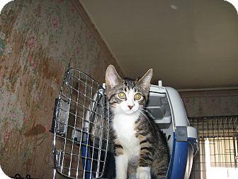 Domestic Shorthair Kitten for adoption in london, Ontario - Sneaker