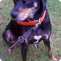 Rottweiler/Doberman Pinscher Mix Dog for adoption in Lawrenceville, Georgia - Marlene