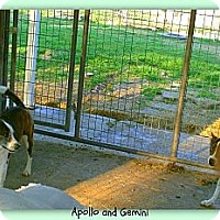 Adopt A Pet :: Gemini - Eddy, TX