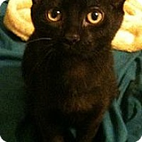 Adopt A Pet :: Jeeves (one white whisker) - Sterling Hgts, MI