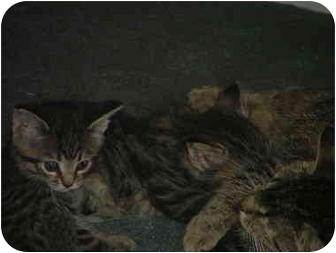 Domestic Mediumhair Kitten for adoption in East Tawas, Michigan - Chubz
