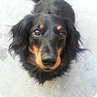 Adopt A Pet :: Sugar*ADOPTED!* - Chicago, IL