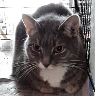 Domestic Shorthair Cat for adoption in Stanhope, New Jersey - Tiger