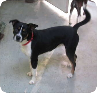 Boston Terrier/Feist Mix Dog for adoption in Hohenwald, Tennessee - Toby
